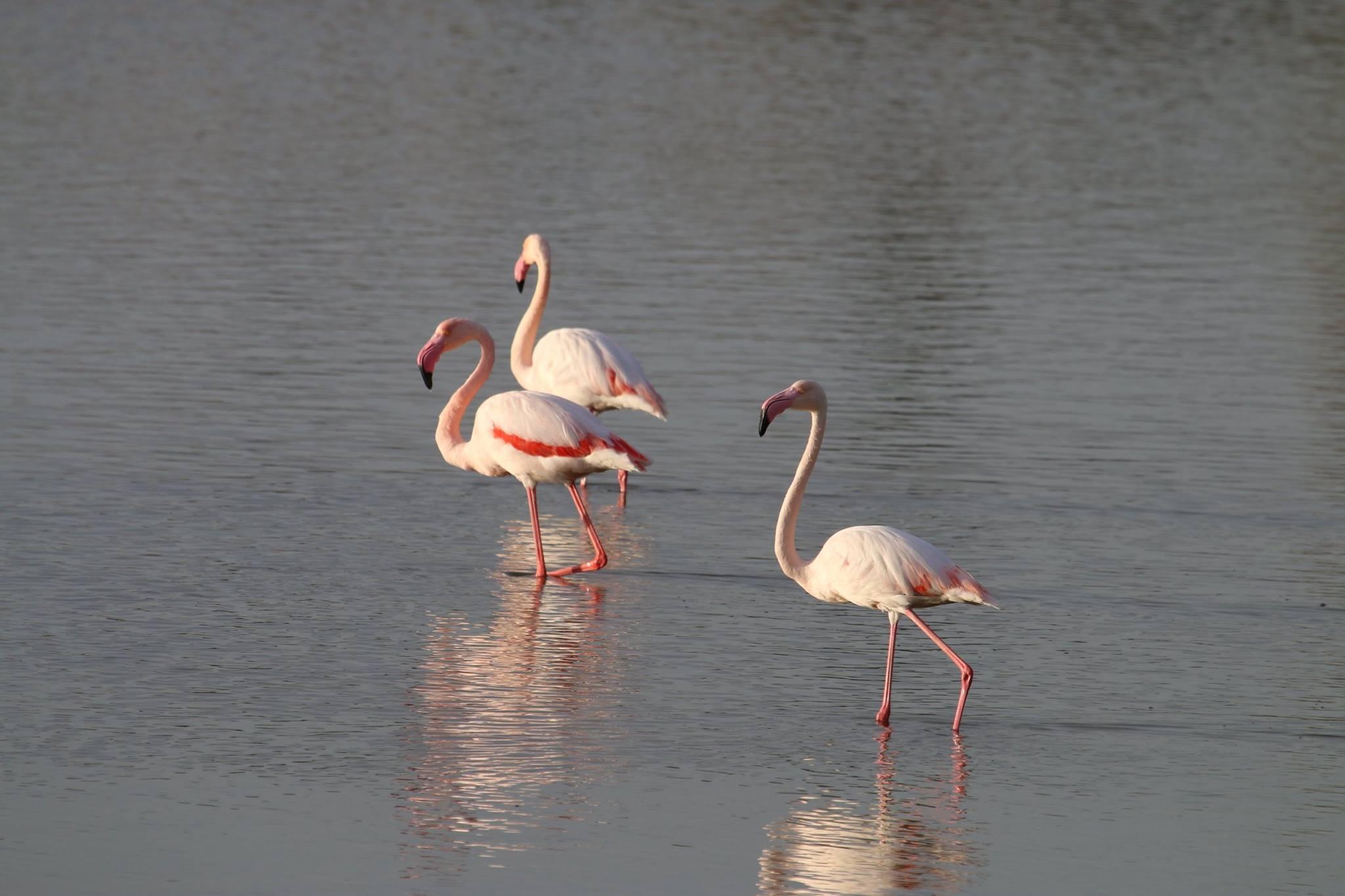 Flamingók Izraelben? Igen!