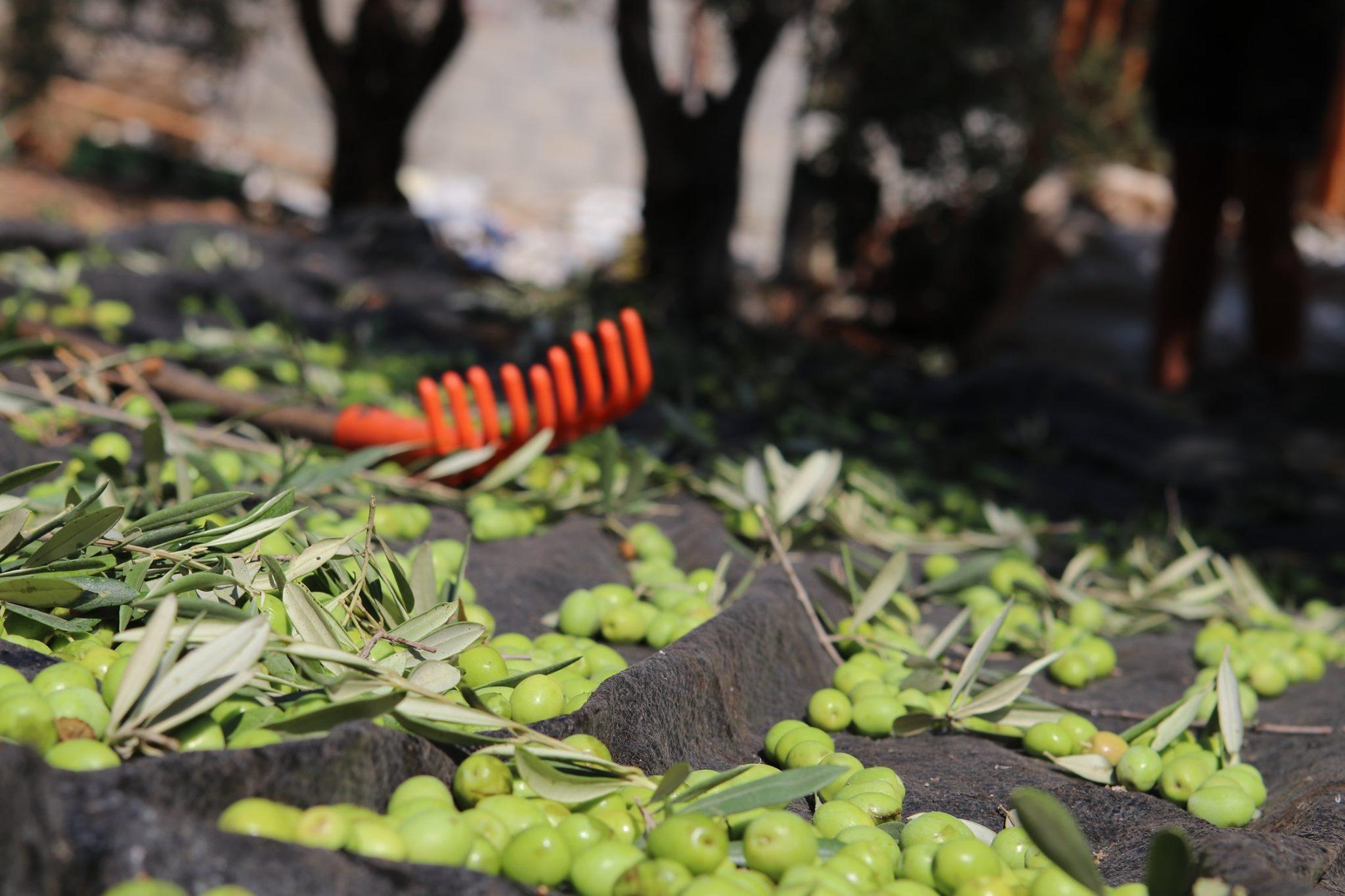 Olívabogyó