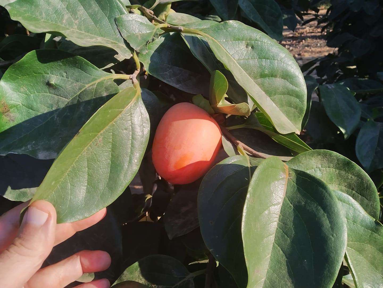 Khaki fruits