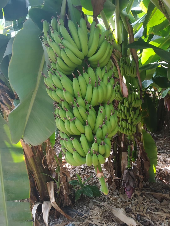 Zöld banán
